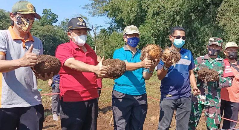 Panen perdana porang di Kabupaten Semarang. (Foto:nyatanya.com/Diskominfo  Kab Semarang)