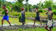 Prajurit Yonif 403/WP bantu warga petani tanam padi. (Foto: nyatanya.com/istimewa)