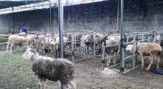 Dalam situasi PPKM ini DPP Kota Yogyakarta mengimbau dan mengarahkan Panitia pemotongan hewan kurban untuk memperketat protokol kesehatan guna mengantisipasi penyebaran virus Covid-19. (Foto:nyatanya.com/Humas Pemkot Yogya)