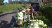Kubis dari tanah Ngablak banyak diminati masyarakat luar daerah. (Foto:nyatanya.com/Humas Magelang)
