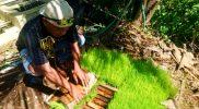 Bibit padi gulung Sri Mulyo. (Foto:nyatanya.com/Humas Magelang)