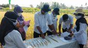 Identifikasi varietas padi Sri Mulyo oleh Distan Pangan Kabupaten Magelang. (Foto:nyatanya.com/Humas Magelang)