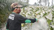 Seorang petani di Kecamatan Dukun Kabupaten Magelang membersihkan abu vulkanik Merapi pada daun tembakau. (Foto: Humas/beritamagelang)