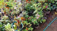 Selain untuk suplai oksigen dan kebutuhan dekorasi, tanaman hias tersebut juga dijual untuk menambah inkam masyarakat. (Foto: dokumentasi pribadi)