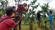Petani di Kembanglimus Kecamatan Borobudur Kabupaten Magelang melakukan okulasi tanaman jeruk untuk meningkatkan kualitas. (Foto: Humas/beritamagelang)