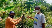 Nanas Benggolo sudah menjadi komoditas andalan Desa Kembanglimus Kabupaten Magelang. (Foto: Humas/beritamagelang)