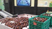 Proses penyortiran salak Nglumut di Packing House Gapoktan Ngudiluhur Desa Kaliurang Kecamatan Srumbung Kabupaten Magelang. (Foto: Humas/beritamagelang)
