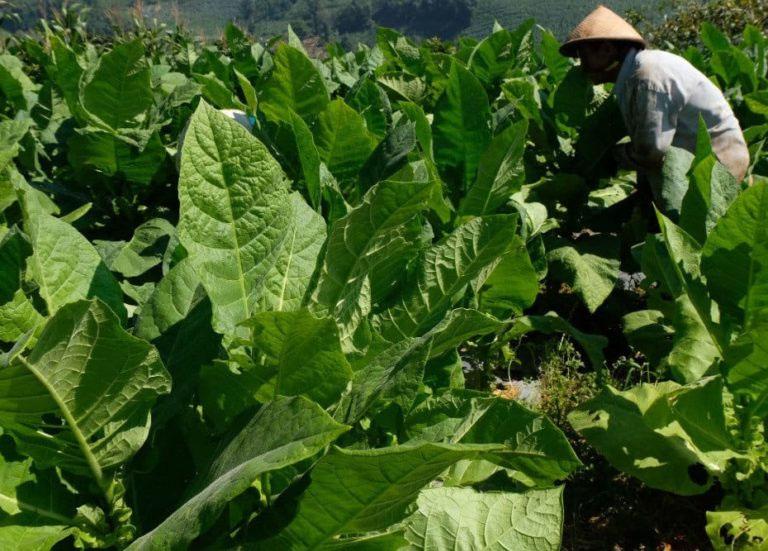 Petani Temanggung siap panenn raya tembakau. (Foto: Diskominfo Temanggung)