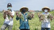 Bupati Bantul Abdul Halim Muslih melaksanakan Panen Perdana Bawang Merah Musim Tanam (MT) ke-2 bersama Kelompok Tani Ngremboko Nir Ing Sambikolo di Bulak Malangan. (Foto: Humas Kab.Bantul)