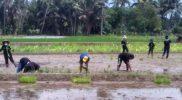 Penanaman varietas padi Srimulyo oleh petani di Dusun Clapar, Desa Ngawen, Kecamatan Muntilan, Kabupaten Magelang. (Foto: Humas/beritamagelang)