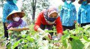 Pojok hijau dan Muria Farm di Desa Besito menghasilkan sayuran berkualitas. (Foto: Diskominfo Kudus)