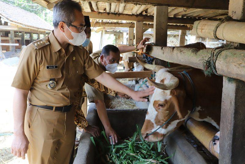 Bupati Bantul saat meninjau Kelompok Ternak Pandan Mulyo. (Foto: Humas Bantul)
