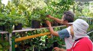 Kreativitas warga Balirejo tak berhenti disitu, mereka juga berinovasi dengan hasil panen strawberry. Strawberry tersebut diolah oleh ibu-ibu PKK kampung Muja muju menjadi berbagai camilan. (Foto: Humas Pemkot Yogya)