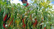 Pemerintah Kabupaten Temanggung dan Kementerian Pertanian siapkan lahan seluas 300 hektare sebagai lumbung pangan hortikultura. (Foto: Diskominfo Temanggung)
