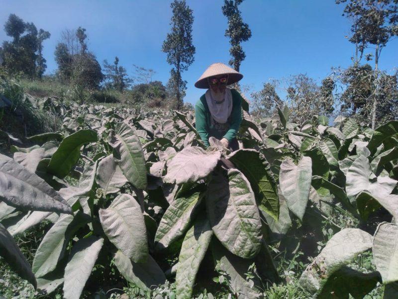 Tanaman tembakau di Desa Paten Kecamatan Dukun Kabupaten Magelang masih tertempel abu vulkanik Gunung Merapi. (Foto: Humas/beritamagelang)