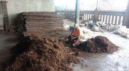 Petani Tembakau di Dusun Carikan Desa Deyangan, Mertoyudan Magelang sedang mengolah tembakau rajangan. (Foto: Humas/beritamagelang)