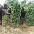 Prajurit  Yonmek 403/WP bersama masyarakat memanen kacang panjang.  (Foto: Penerangan Yon 403-WP)