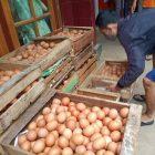 Seorang peternak telur ayam di Temanggung sedang menyiapkan hasil produksinya yang akan diborong PT JAPFA dengan harga di atas harga pasar. (Foto:MC TMG)