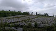 Kabupaten Wonosobo dipilih jadi wilayah percontohan program food estate hortikultura, sebuah program budidaya tanaman hortikultura dengan konsep pertanian sebagai sistem industrial, berbasis ilmu pengetahuan, teknologi, modal, organisasi, dan manajemen modern. (Foto: Diskominfo Wonosobo)