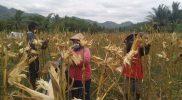 Musim kemarau membawa berkah bagi para petani di Desa Menoreh Kecamatan Salaman Kabupaten Magelang, lantaran hasil panen jagung kuning yang mereka tanam sukses dan melimpah. (Foto: MC Kab Magelang)