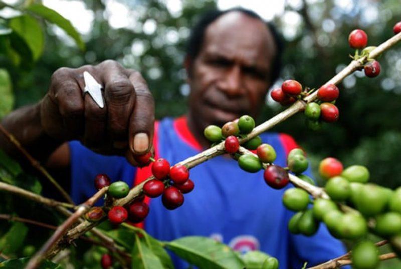 Kopi arabica typica dari Tiom ditanam pada ketinggian 2.150 meter di atas permukaan laut (Mdpl). Lahan di ketinggian memang cukup bagus untuk kopi arabica. Iklim memang sangat berpengaruh terhadap rasa. (Foto:indonesia.go.id)