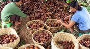 Peluang ekspor Salak Pondoh asal Sleman, Provinsi DIY ke negara anggota ASEAN dinilai semakin terbuka dengan diluncurkannya ekspor perdana komoditas perkebunan tersebut ke Kamboja. (Foto: Humas Kementerian Pertanian)