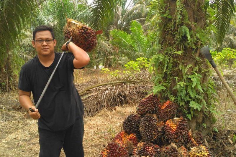 Harga kelapa sawit sedang berada pada posisi tertinggi. Per Selasa (13/10/2021) harga sawit tembus Rp3.014,81 per/Kg. (Foto:MC Prov Riau)